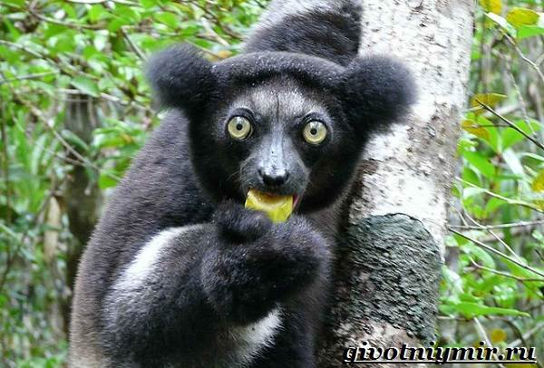 Индри-животное-Образ-жизни-и-среда-обитания-индри-4