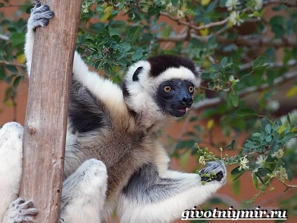 Индри-животное-Образ-жизни-и-среда-обитания-индри-5