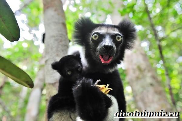 Индри-животное-Образ-жизни-и-среда-обитания-индри-7