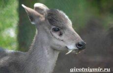 Кабарга животное. Образ жизни и среда обитания кабарги