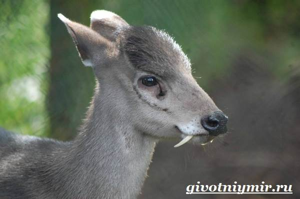 Кабарга-животное-Образ-жизни-и-среда-обитания-кабарги-1