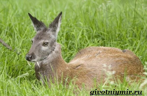 Кабарга-животное-Образ-жизни-и-среда-обитания-кабарги-2