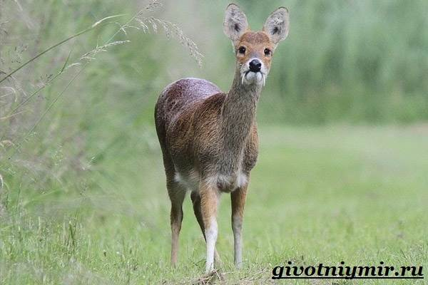 Кабарга-животное-Образ-жизни-и-среда-обитания-кабарги-4
