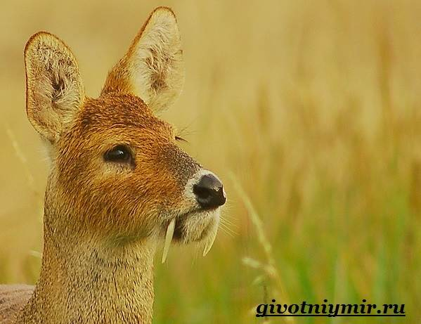 Кабарга-животное-Образ-жизни-и-среда-обитания-кабарги-6