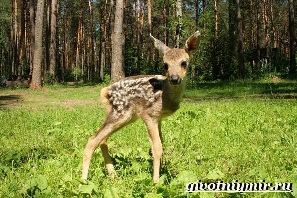 Кабарга-животное-Образ-жизни-и-среда-обитания-кабарги-7