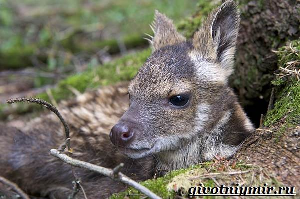 Кабарга-животное-Образ-жизни-и-среда-обитания-кабарги-8