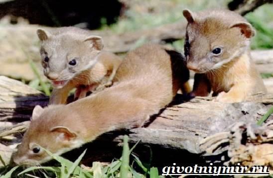 Колонок-животное-Образ-жизни-и-среда-обитания-колонка-6