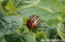 Колорадский жук. Образ жизни и среда обитания колорадского жука