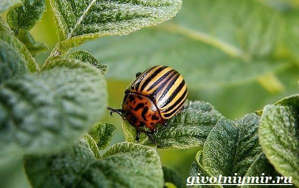 Колорадский-жук-Образ-жизни-и-среда-обитания-колорадского-жука-1