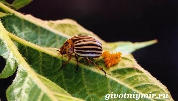 Колорадский-жук-Образ-жизни-и-среда-обитания-колорадского-жука-10