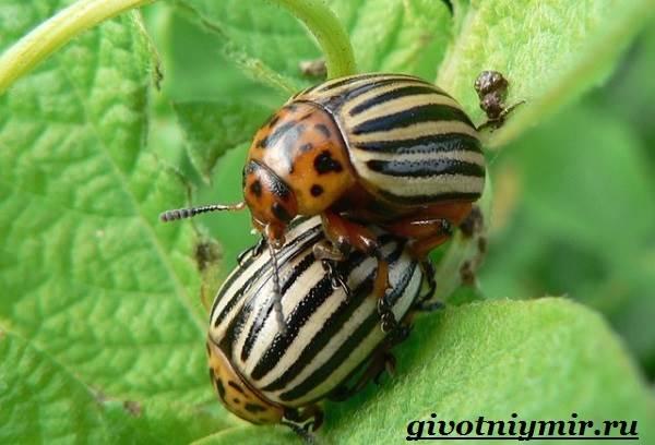 Колорадский-жук-Образ-жизни-и-среда-обитания-колорадского-жука-12