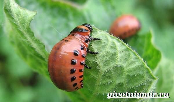 Колорадский-жук-Образ-жизни-и-среда-обитания-колорадского-жука-3