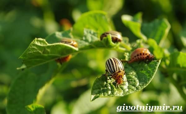 Колорадский-жук-Образ-жизни-и-среда-обитания-колорадского-жука-4