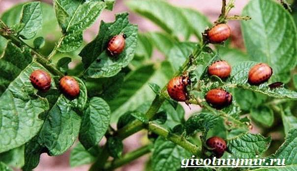 Колорадский-жук-Образ-жизни-и-среда-обитания-колорадского-жука-5