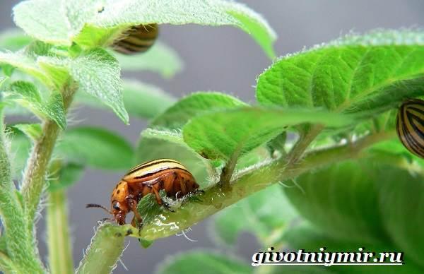 Колорадский-жук-Образ-жизни-и-среда-обитания-колорадского-жука-6