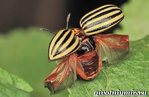 Колорадский-жук-Образ-жизни-и-среда-обитания-колорадского-жука-7