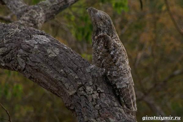 Козодой-птица-Образ-жизни-и-среда-обитания-козодоя-10