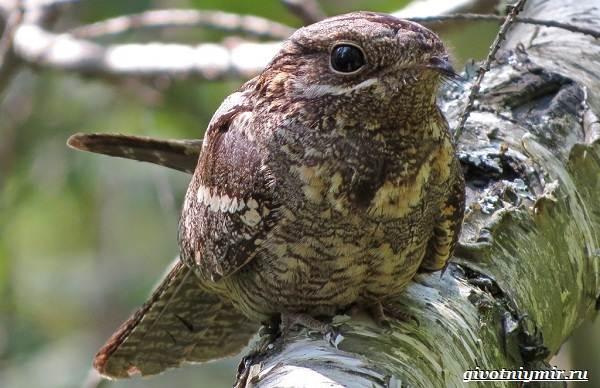 Козодой-птица-Образ-жизни-и-среда-обитания-козодоя-11