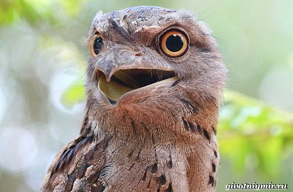 Козодой-птица-Образ-жизни-и-среда-обитания-козодоя-12