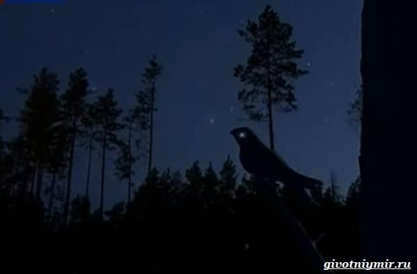 Козодой-птица-Образ-жизни-и-среда-обитания-козодоя-14