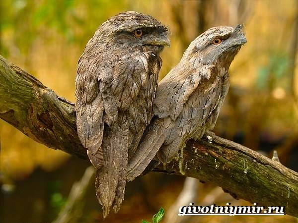 Козодой-птица-Образ-жизни-и-среда-обитания-козодоя-2