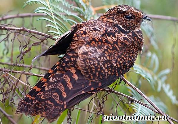 Козодой-птица-Образ-жизни-и-среда-обитания-козодоя-4