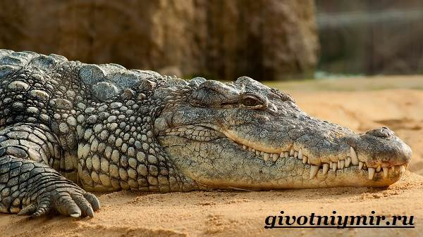 Крокодил-животное-Образ-жизни-и-среда-обитания-крокодила-2