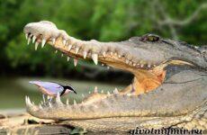 Крокодил животное. Образ жизни и среда обитания крокодила