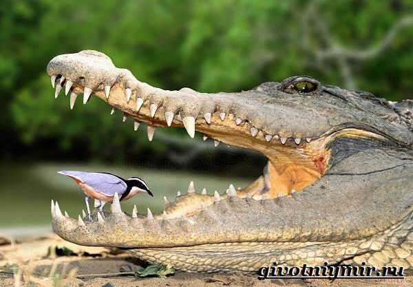 Крокодил-животное-Образ-жизни-и-среда-обитания-крокодила-4