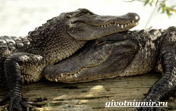 Крокодил-животное-Образ-жизни-и-среда-обитания-крокодила-6