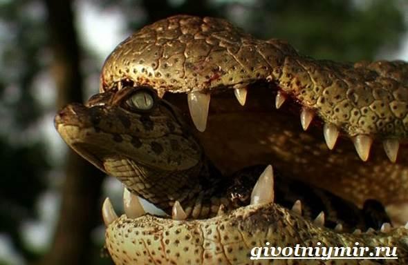 Крокодил-животное-Образ-жизни-и-среда-обитания-крокодила-7