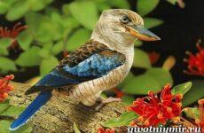 Кукабарра птица. Образ жизни и среда обитания кукабарры