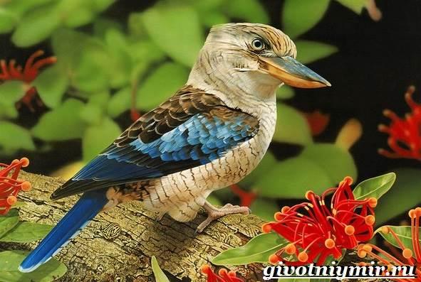 Кукабарра-птица-Образ-жизни-и-среда-обитания-кукабарры-1