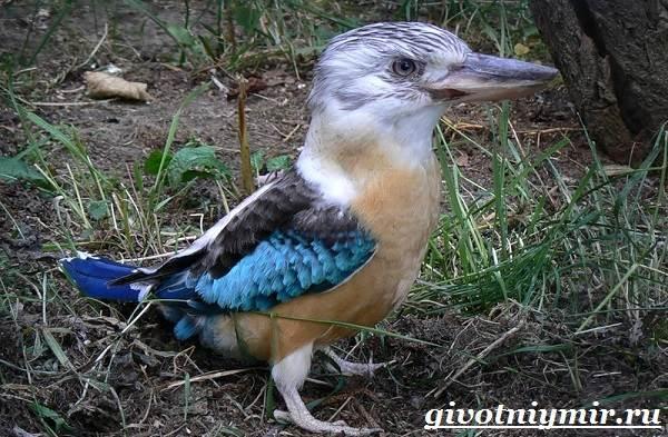 Кукабарра-птица-Образ-жизни-и-среда-обитания-кукабарры-2