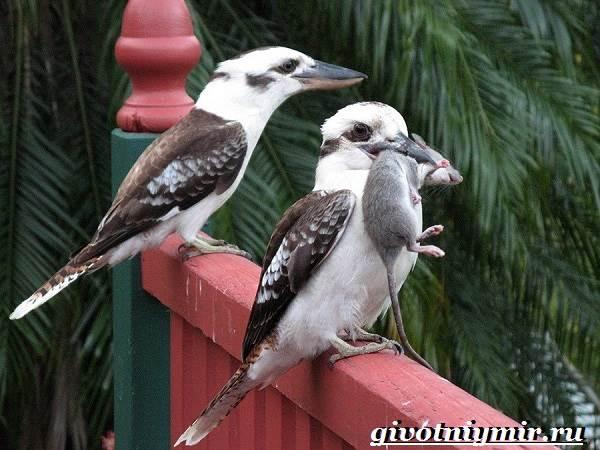 Кукабарра-птица-Образ-жизни-и-среда-обитания-кукабарры-4