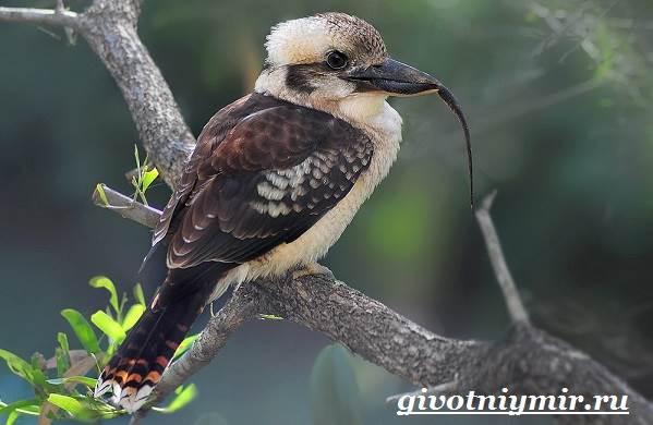 Кукабарра-птица-Образ-жизни-и-среда-обитания-кукабарры-5