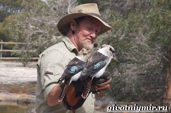 Кукабарра-птица-Образ-жизни-и-среда-обитания-кукабарры-6