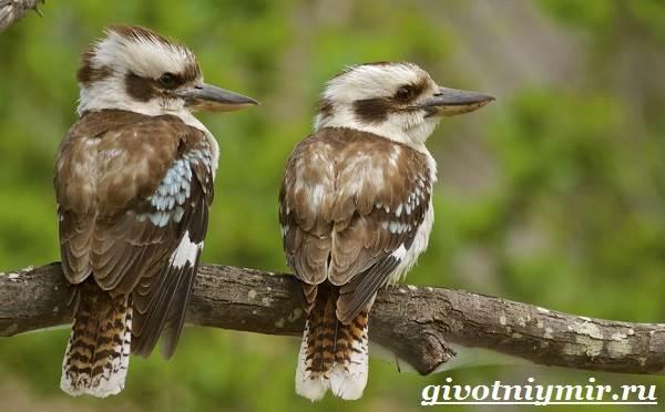 Кукабарра-птица-Образ-жизни-и-среда-обитания-кукабарры-8