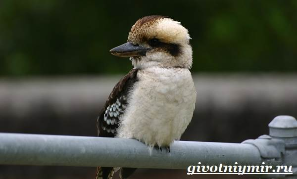 Кукабарра-птица-Образ-жизни-и-среда-обитания-кукабарры-9