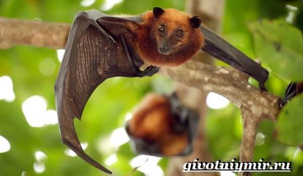 Летучая-лисица-Образ-жизни-и-среда-обитания-летучей-лисицы-2