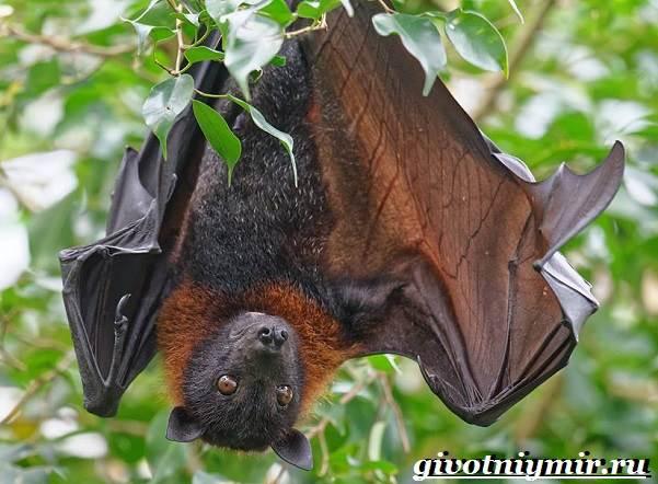 Летучая-лисица-Образ-жизни-и-среда-обитания-летучей-лисицы-3