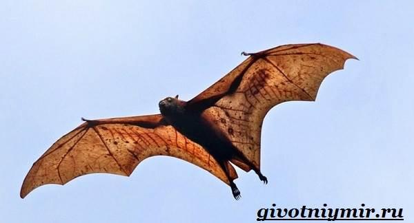 Летучая-лисица-Образ-жизни-и-среда-обитания-летучей-лисицы-4