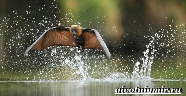 Летучая-лисица-Образ-жизни-и-среда-обитания-летучей-лисицы-6