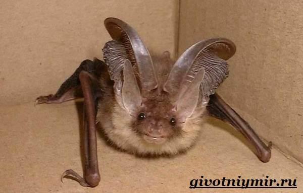 Летучая-мышь-животное-Образ-жизни-и-среда-обитания-летучей-мыши-2