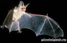Летучая мышь животное. Образ жизни и среда обитания летучей мыши