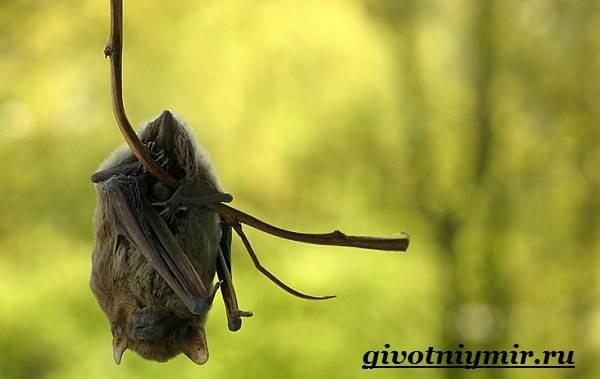 Летучая-мышь-животное-Образ-жизни-и-среда-обитания-летучей-мыши-6