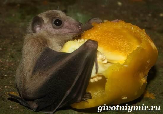Летучая-мышь-животное-Образ-жизни-и-среда-обитания-летучей-мыши-7