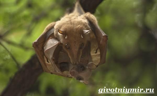 Летучая-мышь-животное-Образ-жизни-и-среда-обитания-летучей-мыши-8