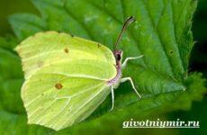 Лимонница бабочка. Образ жизни и среда обитания бабочки лимонницы