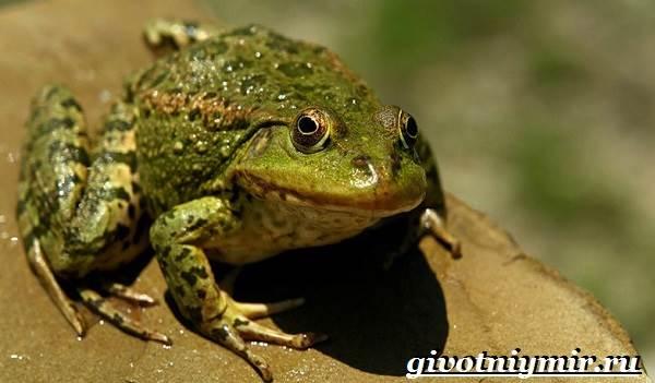 Лягушка-животное-Образ-жизни-и-среда-обитания-лягушки-1